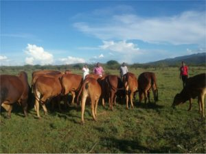 Climate smart cattle improved breeds in South Rift Landscape, Narok country, Kenya