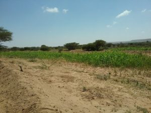 Soil bund field constructed by BVO , Somaliland/Somalia