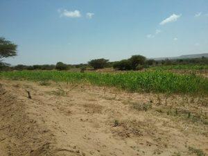 Soil bund field constructed by BVO , Somaliland/Somalia